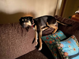 Dog lying on sofa